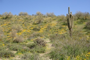 The beautiful Sonoran Desert in bloom.