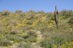 The beautiful Sonoran Desert in bloom.