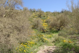 The Sonoran Desert Wildflowers are in Full Bloom during April