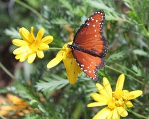 Our Spring foliage attracts the butterfly's as they Migrate.