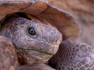 Come Face to Face with  Desert Tortoise at McDowell Mountain Park