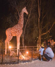 Jengo the Talking Giraffe at Zoo Lights