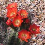 cactusflower02