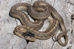 sept-5-reptile