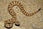8-oct-rattlesnake
