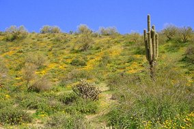 Carpet of Flowers at Saguaro lake
