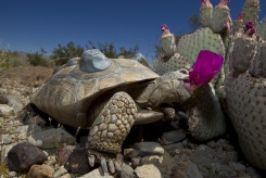 Desert-Tortoise-Eating